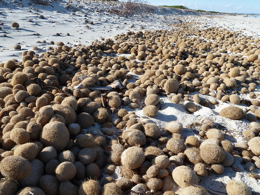 Neptune balls of seagrass are used for building insulation